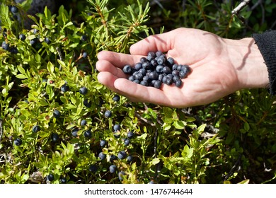 A handful of common bilberry (vaccinium myrtillus). Season: Summer 2019. Location: Western Siberian taiga.