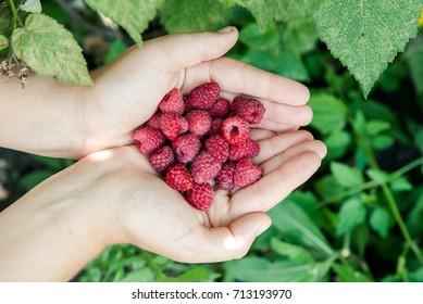 Handful of fresh organic raspberries. Food background.