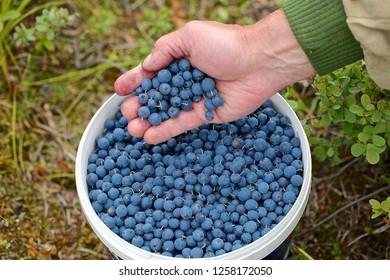 A handful of freshly picked bog bilberries. Location: Western Siberian Taiga. Captured on July 31, 2016