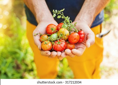 handful of freshly picked tomatoes of bright colors
