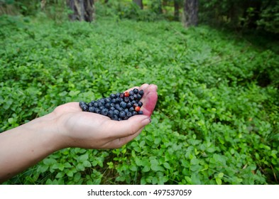 Handful of freshly picked wild blueberries with the forest background