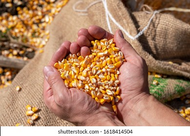 Handful of  Harvested Grain Corn Heart-Shaped Pile. Farmer's rough hands holding corn kernels above a linen sack loaded with freshly harvested grain corn. Close up of peasant's hands with corn grains.