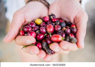 Handful of red, mature coffee grains