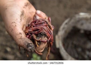 handful of red worms in hand