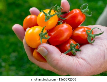 A handful of red and yellow cherry tomatoes.