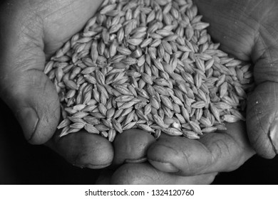 A handful of rye in the hands of a farmer