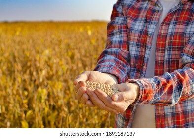 Handful of Soy beans in farmer hands on field background evening sunset time. Copy space for text