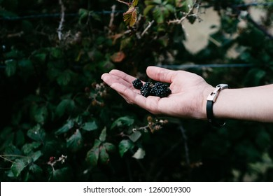 A handful of wild blackberries