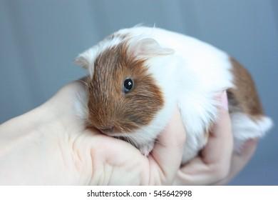 Handfull of guinea pig