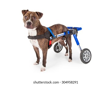 A handicapped Staffordshire Bull Terrier Dog in a wheelchair looking at the camera.