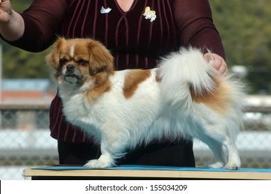 Handler positions her dog for judging