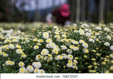Handmade harvest organic chrysanthemum(daisies)in Tongluo, Miaoli County of Taiwan , which flowers has therapeutic effect like herbs or tea after dried.