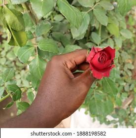 Handpicking a rose flower in a garden