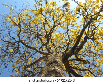 Handroanthus albus, the Golden Trumpet Tree, is a tree with yellow flowers native to Argentina, Paraguay, Bolivia and the Cerrado (tropical savannas) of Brazil.