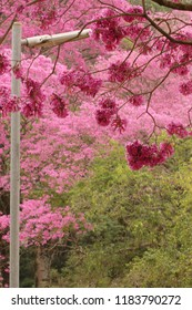 Handroanthus heptaphyllus, commonly referred to as the pink trumpet tree or pink tab