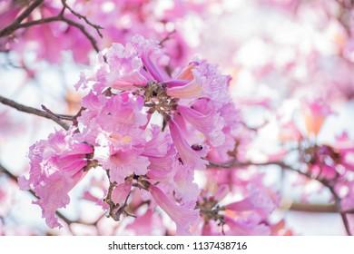 Handroanthus impetiginosus blossom blossom at Los Angeles, California
