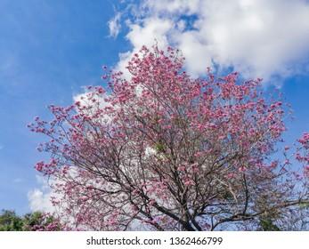 Handroanthus impetiginosus tree blossom at Los Angeles, California