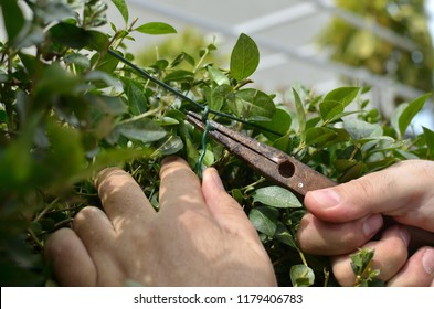 Hands binding wire in a hedgerow with pliers