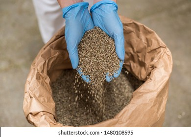 Hands with blue latex gloves taking seeds of CBD hemp from sack in factory forming heart. Medicinal and recreational marijuana plants cultivation.