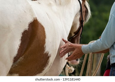 Hands caressing the belly of a Paint horse