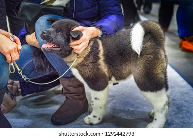 Hands caressing puppy American Akita. Happy puppy caresses to man.