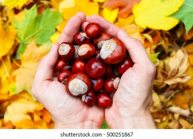 hands with chestnuts - fall time