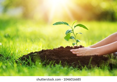 Hands of a child taking care of a seedling in the soil. New sprout on sunny day in the garden in summer