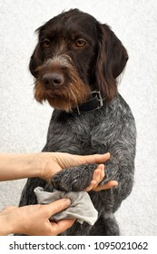 hands cleaning the paw of dog from dirt after walking
