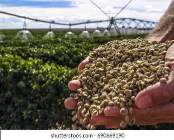 Hands with coffee grains with a irrigated coffee Field in the background