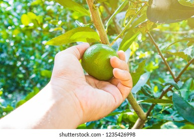 Woman's hands are collecting lemons in the garden.