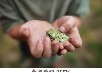 The hands of a dirty little boy child are gently holding a Grey Tree Frog, while exploring outside in nature.