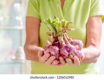 Hands of an elder woman holding small red onions. The ingredient is used in most Cuban food preparations