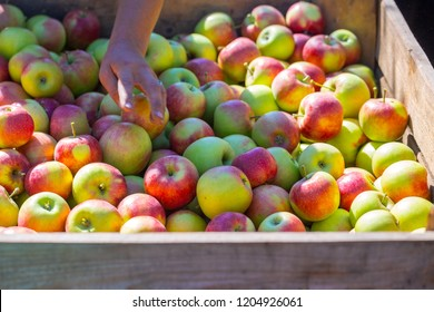 The hands of the employee who sorts and calibrate harvest of fresh ripe red apples just collected from the trees are folded into large wooden pallet containers. A sunny autumn day in farmer's orchards