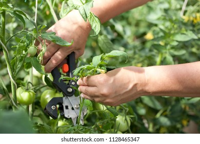 The hands of the farmer cut the green tomatoes on the garden. Agriculture.
