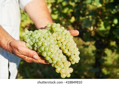 Hands of farmer with fresh green grapes