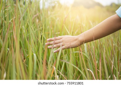 hand's farmer holding rice field. soft focus