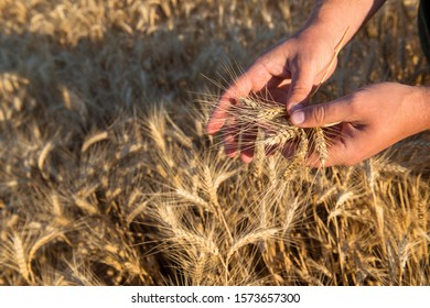 Hands of a farmer holding spikelets of wheat on a field