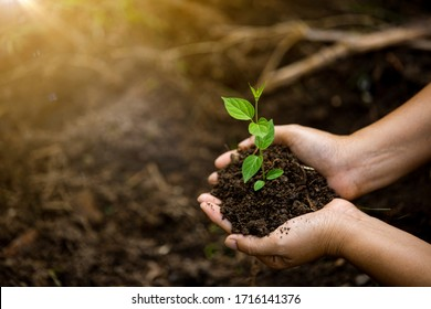 Hands of the farmer are planting the seedlings into the soil