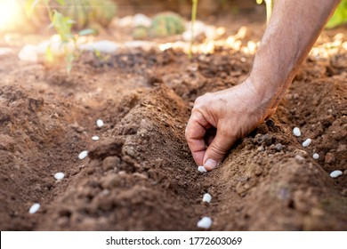 Hands of a farmer is planting the seeds. Many ancestor seeds on the soil.