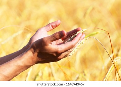 Hands of a farmer with wheat ear
