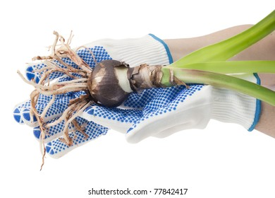 Hands of the farmer in white gloves hold a sapling of a bulbous plant,  isolated