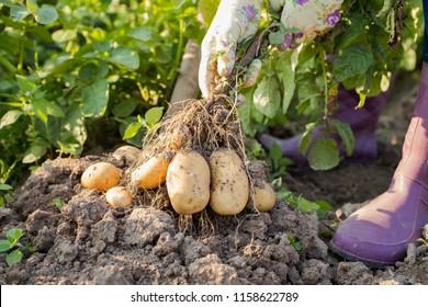 Hands Of Female Gardener Pull Fresh Potatoes From Ground In Sunny Day In Vegetable Garden. Seasonal Harvesting Time.