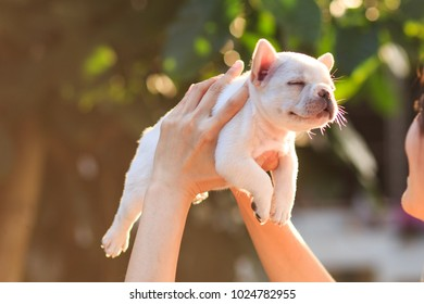 Hands of female holding a white french bulldog puppy with sleepy face.