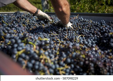 Hands flattening plenty of red wine grapes on a truck during the vintage