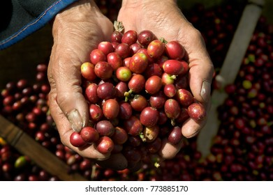 Hands full of freshly picked, ripe coffee cherries at Doi Chang in north Thailand.