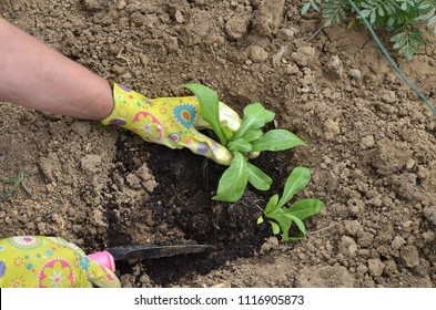 Hands in garden gloves planting a plant in a garden soil - top view