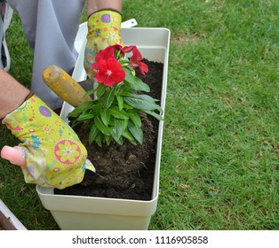 Hands in garden gloves re-potting red flower in a lush garden in spring