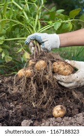 hands of gardener with digging bush potato in the vegetable garden, closeup