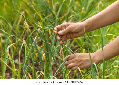 hands of gardener picking garlic scape in the vegetable garden