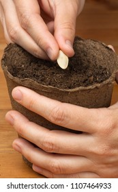 hands of gardener planting seeds in the peat pot